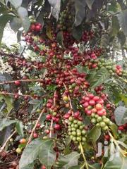 Land 100 Acres Of Coffee And Eculyptus In Mityana   Land & Plots For Sale for sale in Central Region, Kampala