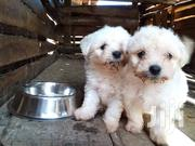 White Maltese Puppies | Dogs & Puppies for sale in Central Region, Kampala