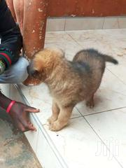 Sable German Shepherd | Dogs & Puppies for sale in Central Region, Kampala