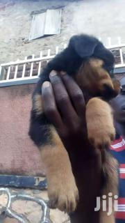 Rottweiler Puppies | Dogs & Puppies for sale in Central Region, Kampala