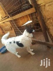 Dogs On Sale | Dogs & Puppies for sale in Central Region, Kampala