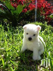 Maltese Puppies For Sale | Dogs & Puppies for sale in Central Region, Kampala