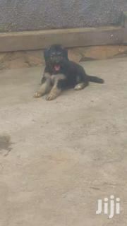 Germany Shepherd Pretty | Dogs & Puppies for sale in Central Region, Kampala