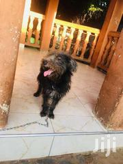 Maltese   Dogs & Puppies for sale in Central Region, Kampala