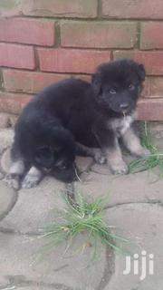 Pure German Shepherds | Dogs & Puppies for sale in Central Region, Kampala