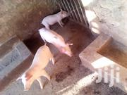 Am Selling Piglets | Other Animals for sale in Central Region, Kampala
