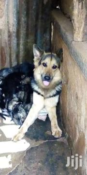 Gsd Puppies | Dogs & Puppies for sale in Central Region, Kampala