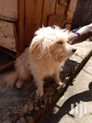 Young Dog | Dogs & Puppies for sale in Central Region, Kampala