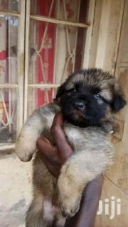 Shepherd Puppies | Dogs & Puppies for sale in Central Region, Kampala
