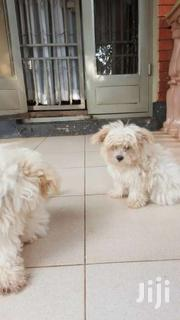 Cute,  Fluffy Lovely Malshitsu  Puppies | Dogs & Puppies for sale in Central Region, Kampala