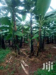 6.5  Acres Of Banana Plantation In Kikyusa | Land & Plots For Sale for sale in Central Region, Kampala