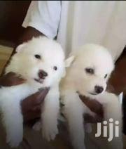 Snow White Spitz Puppies | Dogs & Puppies for sale in Central Region, Kampala