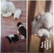 Maltese Puppies | Dogs & Puppies for sale in Central Region, Kampala