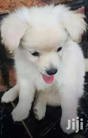 Spitz Puppies Ready For New Home | Dogs & Puppies for sale in Central Region, Kampala