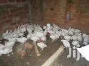 Broiler Chicken | Other Animals for sale in Central Region, Kampala