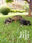 German Shepherd Puppies | Dogs & Puppies for sale in Kampala, Central Region, Nigeria