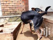 Doberman-local Cross   Dogs & Puppies for sale in Central Region, Kampala