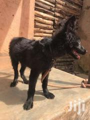 Solid Black Shepherd | Dogs & Puppies for sale in Central Region, Kampala