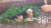 Wolf Dog (Named Hulk)   Dogs & Puppies for sale in Central Region, Wakiso