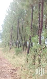 Pine Trees 10years | Commercial Property For Sale for sale in Eastern Region, Mbale