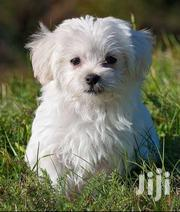 1 Month Old Pure Maltese Puppies For Sale | Dogs & Puppies for sale in Central Region, Kampala