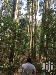 2square Miles Of Eucalyptus Trees   Home Accessories for sale in Western Region, Kisoro