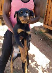 Six Months Old Rottweiler Puppies | Dogs & Puppies for sale in Central Region, Kampala