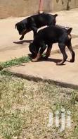 Six Months Old Rottweiler Puppies | Dogs & Puppies for sale in Kampala, Central Region, Uganda