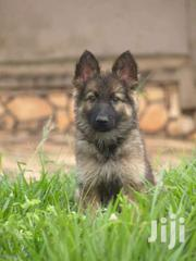 German Shepherd Puppies Double | Dogs & Puppies for sale in Central Region, Kampala