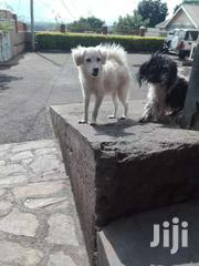 Japanese Spits 4 Months Old | Dogs & Puppies for sale in Central Region, Kampala