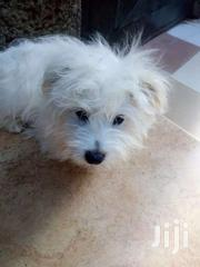 Male Maltese | Dogs & Puppies for sale in Central Region, Kampala