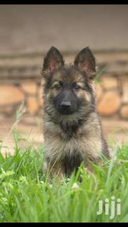 Pure German Shepherd Puppy For Sale,Male ,4 Months Old | Dogs & Puppies for sale in Central Region, Kampala