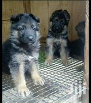 Shep Puppies | Dogs & Puppies for sale in Central Region, Kampala