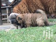 Chowchow ( Breed) Puppies Available Now | Dogs & Puppies for sale in Central Region, Kampala