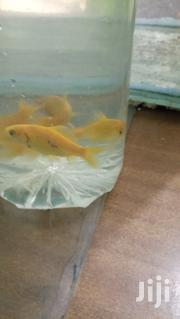 Yellow Commet Fish | Fish for sale in Central Region, Kampala