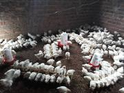 Broilers For Sale | Livestock & Poultry for sale in Central Region, Kampala
