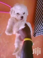 Maltese Puppys | Dogs & Puppies for sale in Central Region, Kampala