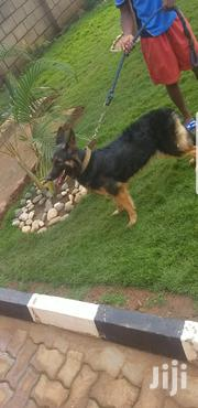 Shepered Dog | Dogs & Puppies for sale in Central Region, Kampala