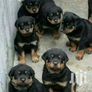 Rottweiler Puppies. | Dogs & Puppies for sale in Western Region, Kisoro