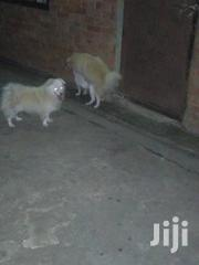 Excellent Puppies For Sale   Dogs & Puppies for sale in Central Region, Kampala