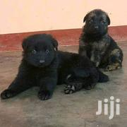 German Shepherd Puppies Available Now | Dogs & Puppies for sale in Central Region, Kampala
