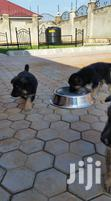 German Shepherd Puppies Available Now | Dogs & Puppies for sale in Kampala, Central Region, Nigeria