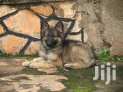 German Shepherd Puppies on Sale. Fully Vaccinated | Dogs & Puppies for sale in Central Region, Kampala