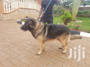 German Shepered Male for Mating | Dogs & Puppies for sale in Central Region, Kampala