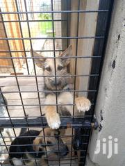 German Shepherd Cross Puppies. | Dogs & Puppies for sale in Central Region, Kampala