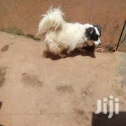 Cross Of Maltese&Spitz Breed Shinny And Double Coat | Dogs & Puppies for sale in Central Region, Kampala