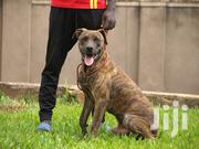 Boerboel Male Brindle in Color   Dogs & Puppies for sale in Central Region, Kampala