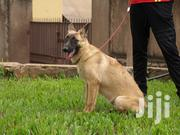 Belgian Shepherd Female | Dogs & Puppies for sale in Central Region, Kampala