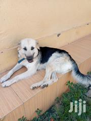 German Sheperd Dog For Sale | Dogs & Puppies for sale in Central Region, Kampala