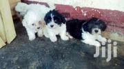 Maltese White And Mixed Colour | Dogs & Puppies for sale in Central Region, Kampala